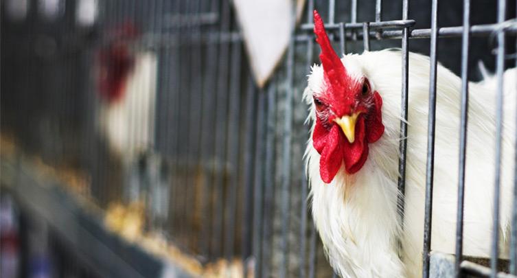 753x405_chicken-cage