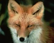 red_fox_animal_wildlife_web
