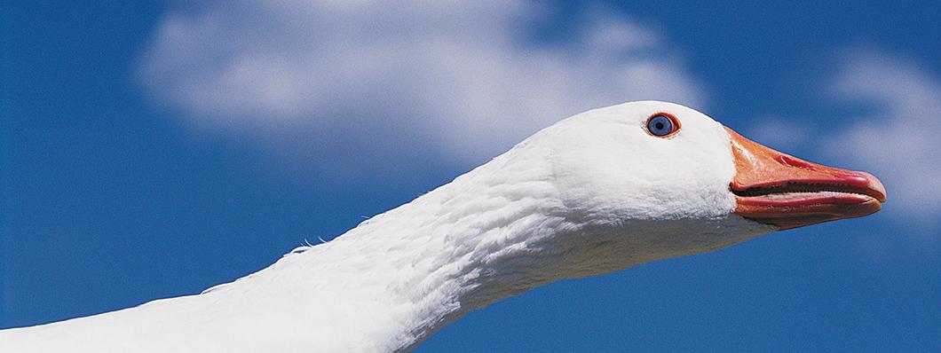 1060x398_goose