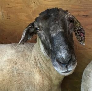 June sheep web