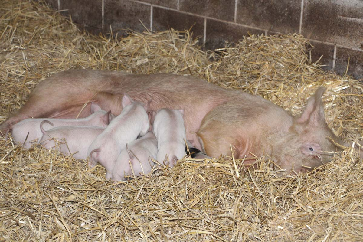 mum-and-piglets