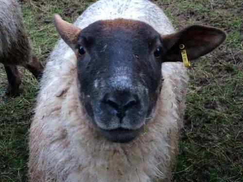 clive-sheep-photo 3