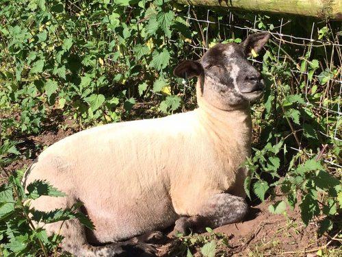 flopsy-sheep-photo 4