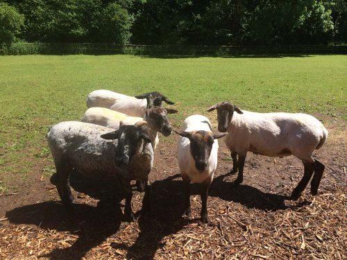 Sheep-web