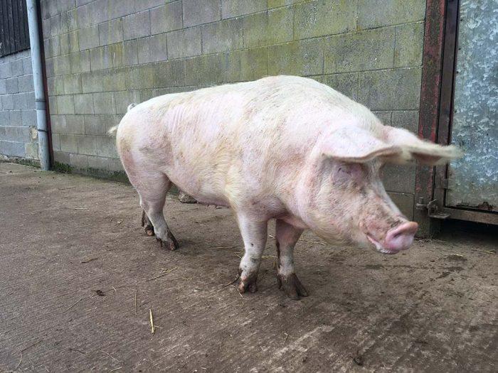 Wynne-pig-IMG_9489-web