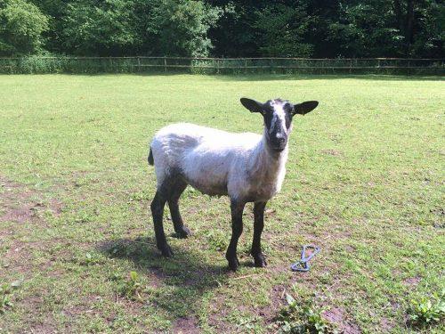 donny-sheep-photo